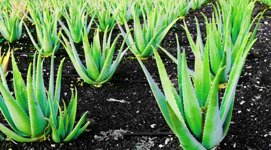 8610504-Aloe-vera-a-plantation-of-herbs-Stock-Photo-plant