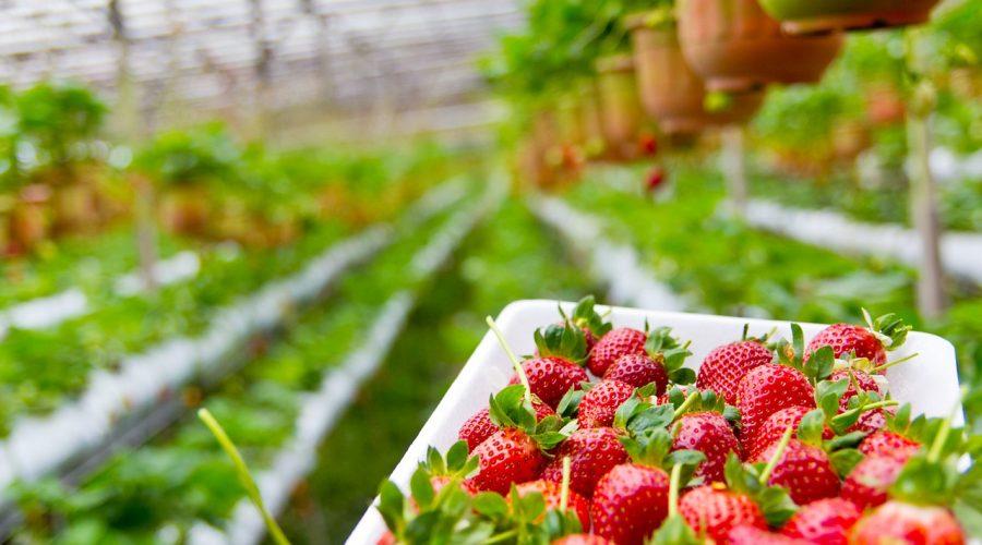 strawberry-785068_1280