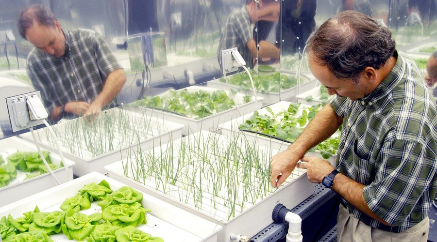 KENNEDY SPACE CENTER, FLA.  -  In a plant growth chamber in the KSC Space Life Sciences Lab,  plant physiologist Ray Wheeler checks onions being grown using hydroponic techniques.  The other plants are Bibb lettuce (left) and radishes (right).  Wheeler and other colleagues are researching plant growth under different types of light, different CO2 concentrations and temperatures.  The Lab is exploring various aspects of a bioregenerative life support system. Such research and technology development will be crucial to long-term habitation of space by humans.