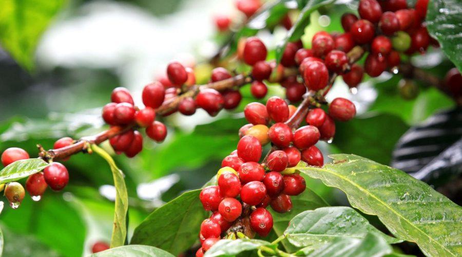 kcoffeeplant1-min