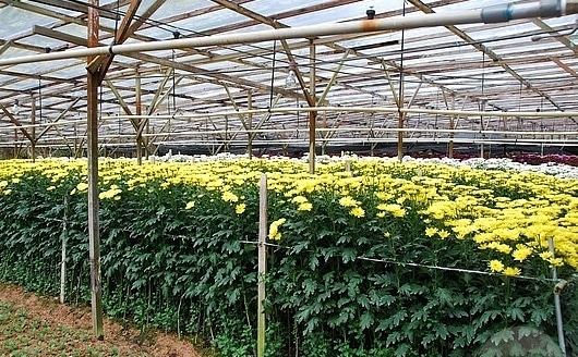 Gorwing-Chrysanthemum-Flowers-in-Greenhouse